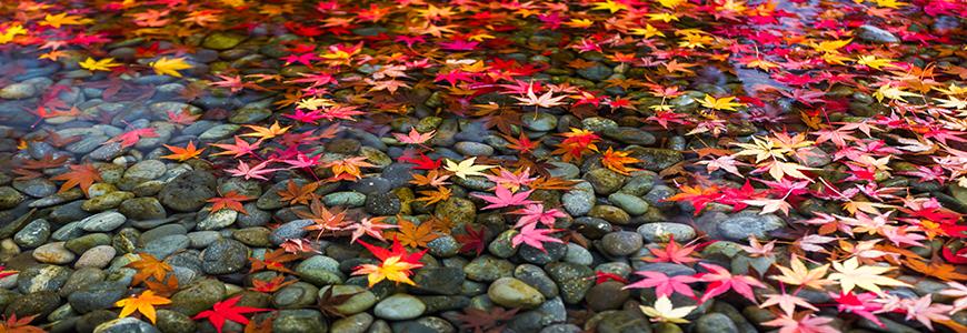 「日本賞楓」的圖片搜尋結果