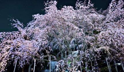 東京六義園夜櫻