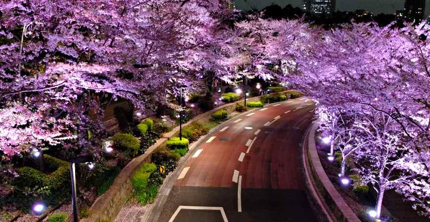 六本木夜櫻