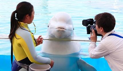 日本橫濱八景島海島樂園洋親密館可與白海豚接觸
