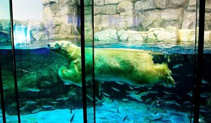 日本橫濱八景島海島樂園水族館「Aqua Museum」的北極熊