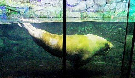 日本橫濱八景島海島樂園水族館「Aqua Museum」的海象