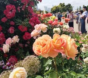 山下公園玫瑰