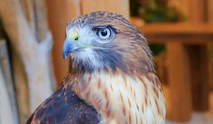 東京原宿貓頭鷹咖啡廳推薦「貓頭鷹庭園」店內的栗翅鷹