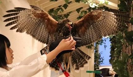 東京原宿貓頭鷹咖啡廳推薦「貓頭鷹庭園」店內的老鷹體驗
