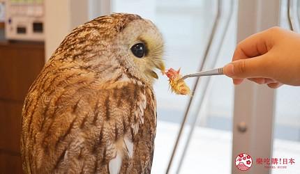 東京原宿貓頭鷹咖啡廳推薦「貓頭鷹庭園」店內的餵食體驗