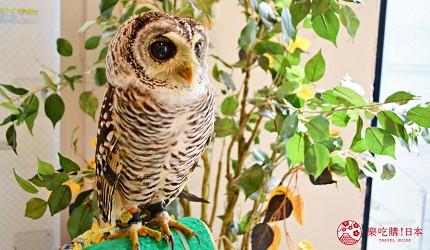東京原宿貓頭鷹咖啡廳推薦「貓頭鷹庭園」店內可愛鳥類