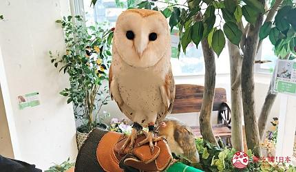東京原宿貓頭鷹咖啡廳推薦「貓頭鷹庭園」店內的貓頭鷹體驗