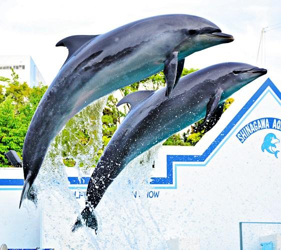 2018東京燈飾必去推薦「TOKYO MEGA ILLUMINATION」附近的「品川水族館」(しながわ水族館)的海豚秀表演