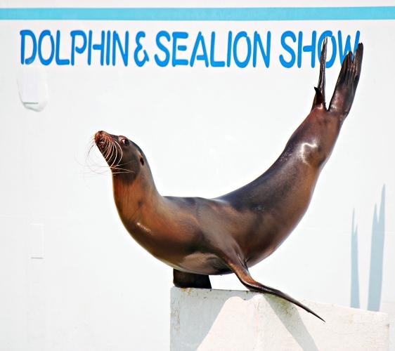 2018東京燈飾必去推薦「TOKYO MEGA ILLUMINATION」附近的「品川水族館」(しながわ水族館)的海獅秀