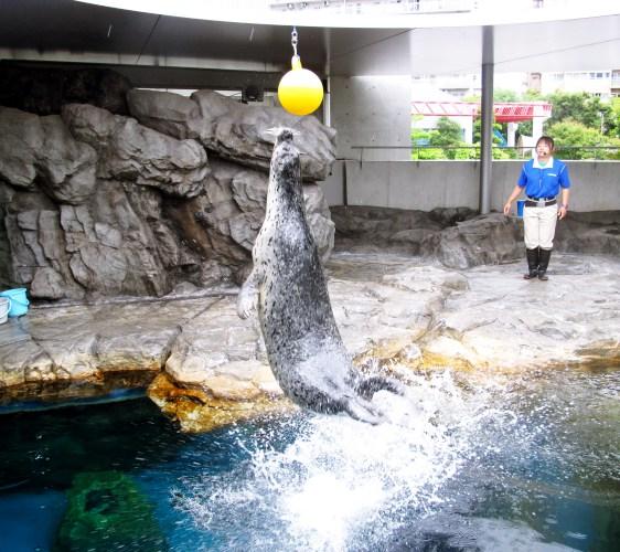 2018東京燈飾必去推薦「TOKYO MEGA ILLUMINATION」附近的「品川水族館」(しながわ水族館)的小海豹表演