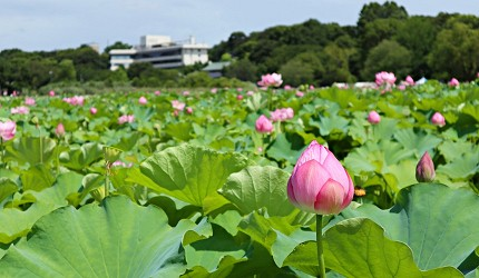 東京自由行上野景點上野恩賜公園不忍池蓮花