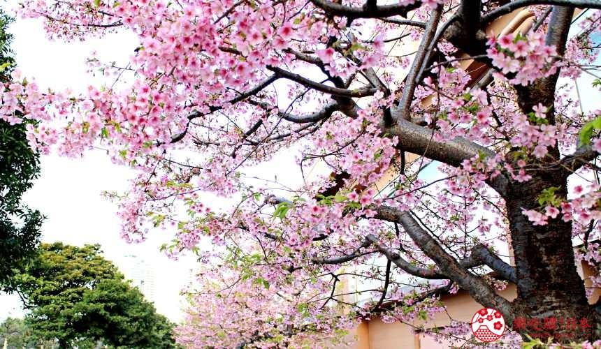 台場購物中心aquacity的櫻花
