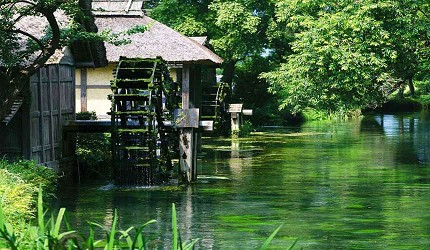東京近郊長野景點推薦大王山葵農場