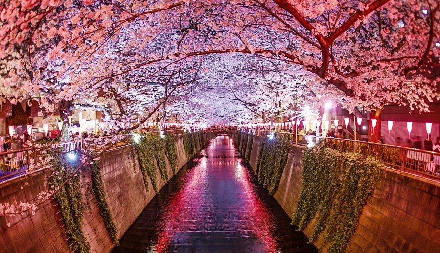 日本樱花前缐预测满开夜樱点灯中目黑东京目黑川六本木九段下六义园